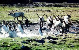 Reindeer were introduced in the island in the early 1900's to feed whalers