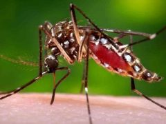 The virus is transmitted by the same dengue Aedes aegypti mosquito