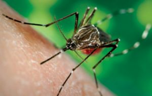 Although not as lethal as dengue it has long term effects with joint pains during several years