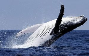 Humpback whales annually undertake the longest migration of any mammal between their winter breeding grounds and summer feeding grounds.