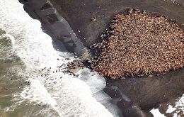 NOAA photographed the gathering, known as a haul-out, north of the village of Point Lay over the weekend.