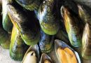 Production and export of mussels in Chile increased slightly but income in dollars  climbed 5.9%