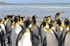 King penguins are slightly smaller than their imperial cousins, but they have larger patches of golden feathers on their heads and necks