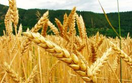 Prices of wheat, coarse grains and rice were all lower, but the decline was most pronounced for wheat, reflecting improvement in wheat production prospects