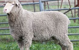 Mumblebone Merinos have been identified as one a small number of progressive Australian studs working on the traits needed by Falklands farmers