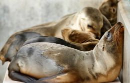 Scientists believe sea lions are suffering from a scarcity of natural prey which forces nursing mothers to venture farther out to sea, leaving their young behind for longer periods.