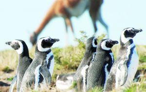 It hosts the largest colony of Magellan penguins in the world, accounting for almost 40% of the global population