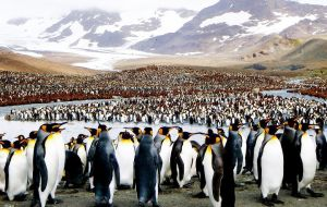 After Grytviken the site most often visited was Gold Harbour with a large king penguin colony with an impressive scenic backdrop of mountains and glaciers