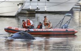 The mammal, apparently a humpback, measuring some seven meters appeared near a posh Buenos Aires Yacht Club on Monday morning