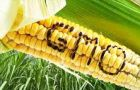 Monsanto's MON810 maize is the only GM crop grown in Europe, where it has been cultivated in Spain and Portugal for a decade