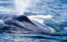 Norwegian scientists say that in these waters blue whales have not seen for about 100 years.