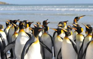 A classic visit of the Islands: Volunteer Point with its hundreds of different penguins