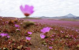 The softer side to the disruptive El Niño: an enormous blanket of colorful flowers has carpeted Chile's Atacama desert, the most arid in the world.