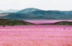 The cyclical warming of the central Pacific may be causing droughts and floods, but in the vast desert of north Chile it has caused a vibrant explosion of flowers