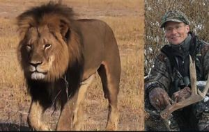 Cecil, the magnificent male lion killed in Zimbabwe last July by Minnesota dentist and big-game hunter Walter Palmer,