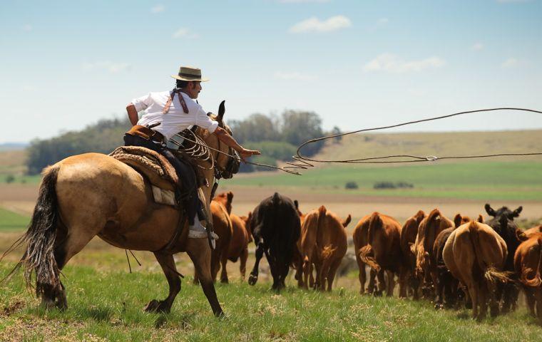 Image result for Argentine cattle