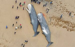 They are thought to be from the same pod as a dead whale on Hunstanton beach, 25 kilometres across The Wash bay, which stranded and died on Friday.
