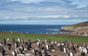 There are 130.000 breeding pairs on the Falkland Islands, making it the largest gentoo population on earth.