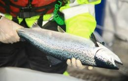 Last week the Norwegian company Marine Harvest, the largest salmon producer in the world, reported the deaths of about 1.2 million fish as a result of the algae being identified on their premises, loc