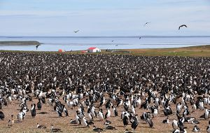 Bleaker island, a most surreal place full of penguins, sheep, cattle, marine birds and four humans