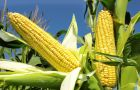 Maize output is seen growing by 1.1% to 1.014 million tons, driven by recovering yields in the European Union and expanding plantings in the United States