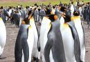 The majestic King penguins at Volunteer Point