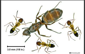 The ants were identified by UK experts as the extremely invasive Argentine Ant (Linepithema humile),