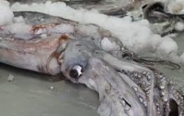 Giant squid started appearing in Paita, Bayóvar, Talara and Yacila, small to medium sized specimen but good quality, good texture and good color.