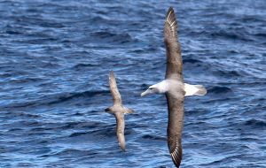 Of 29 albatross and large petrels species covered by ACAP, 19 are threatened by the IUCN: 11 are Vulnerable, 5 Endangered and 3 Critically Endangered.