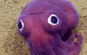 The animal looks like a cross between a squid and an octopus but is closely related to a cuttlefish, according to the Nautilus Live website.