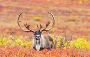 The national park, the largest in Norway with wild reindeer populations, spans some 8,000 square kilometers and is home to 10,000 to 11,000 wild reindeer.