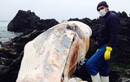 Last weekend a 14-meter fin whale was found dead on rocks at a beach in the city of Coquimbo, which prompted experts from Sernapesca to investigate.