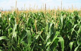 The country's national average corn yield from 53 bushels per acre in 2003-04 to 81 bushels per acre last year, despite the dry weather.