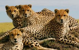 Cheetahs are in danger because they range far beyond protected areas and are coming increasingly into conflict with humans, says report.