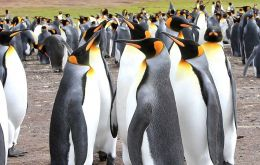 As many as a million penguins nest in the Falklands every summer, representing five of the world's species: King, Gentoo, Rockhopper, Magellanic and Macaroni.