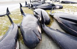 About 350 whales have died, including 20 that were euthanized. Another 100 have been refloated by volunteers and more than 200 have swum away unassisted. (Pic Reuters)