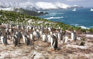 The team, based at BAS, found that between 1989 and 2010 gentoo penguins ate approximately equal amounts of crustaceans, (mainly Antarctic krill) and fish. (Pic BAS)