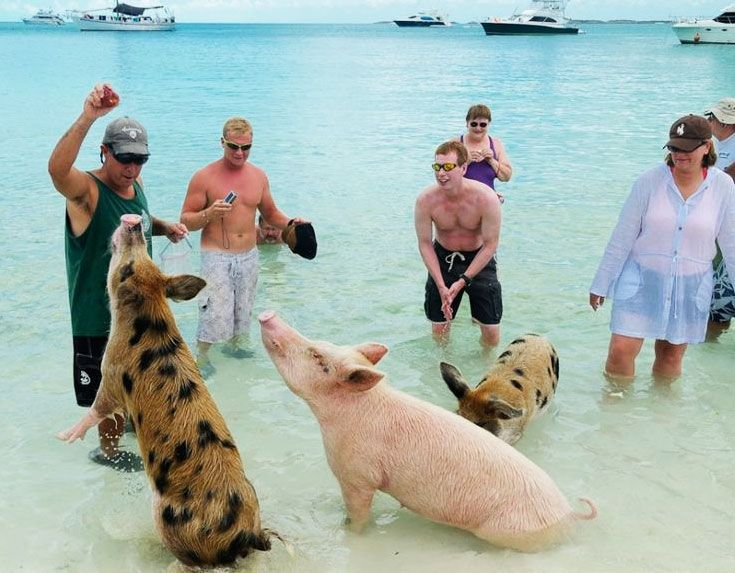 """968f27f4d2f """"We have people coming there giving the pigs beer, rum, riding on top of  them, all kind of stuff,"""" Bahamian farmer Wayde Nixon complained"""
