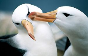 A pair of Black-Browed Albatross: 56% of the Falklands breeding Black-Browed Albatross population (approx. 44% of world population) live on Jason Islands