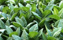 A successful tobacco harvest, yet below early estimates.