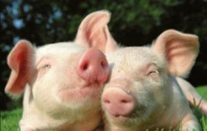 A total of 12 pigs (from both farms) were found to be affected by the virus. No deaths have been reported. Affected premises are located in Salto and Canelones.