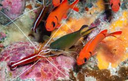 Cleaner shrimp with Apolo damselfish (Picture SMSG);
