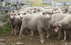 The amount of lambs marked on the West took a healthy leap with 69.4% of the 60,252 ewes mated producing young, while the previous year it was just 55.3%
