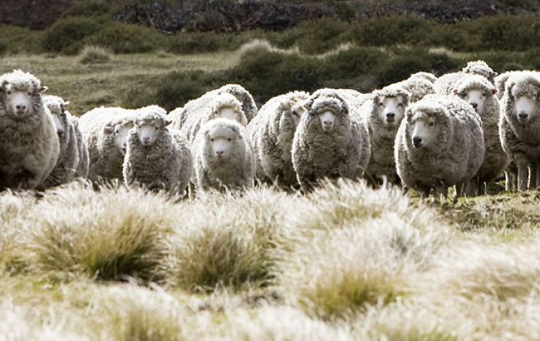 West Falklands is producing more wool per sheep than their East Falklands counterpart, but the East is currently running more than twice the amount of cattle