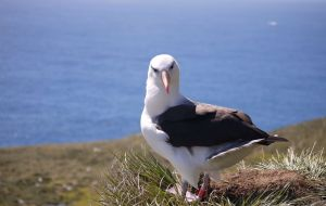 This year, the Black-browed Albatross has been classed as Least Concern on the IUCN Red list © Stephanie Winnard