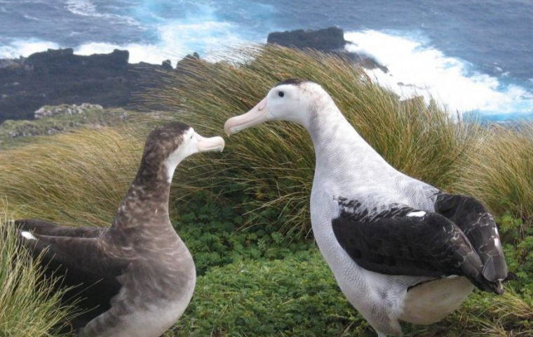 Food shortages are sending the female Antipodean Albatross (Left) on longer, and more perilous, foraging trips © Kath Walker