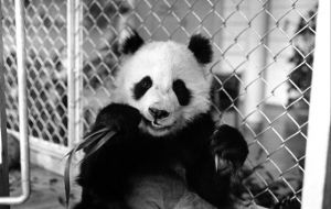 The Smithsonian Institution in Washington had asked London Zoo for the loan of its male panda, Chia Chia, brought back by Heath from China in 1974