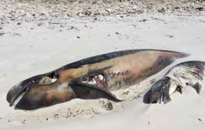 Pilot whales buried in sand