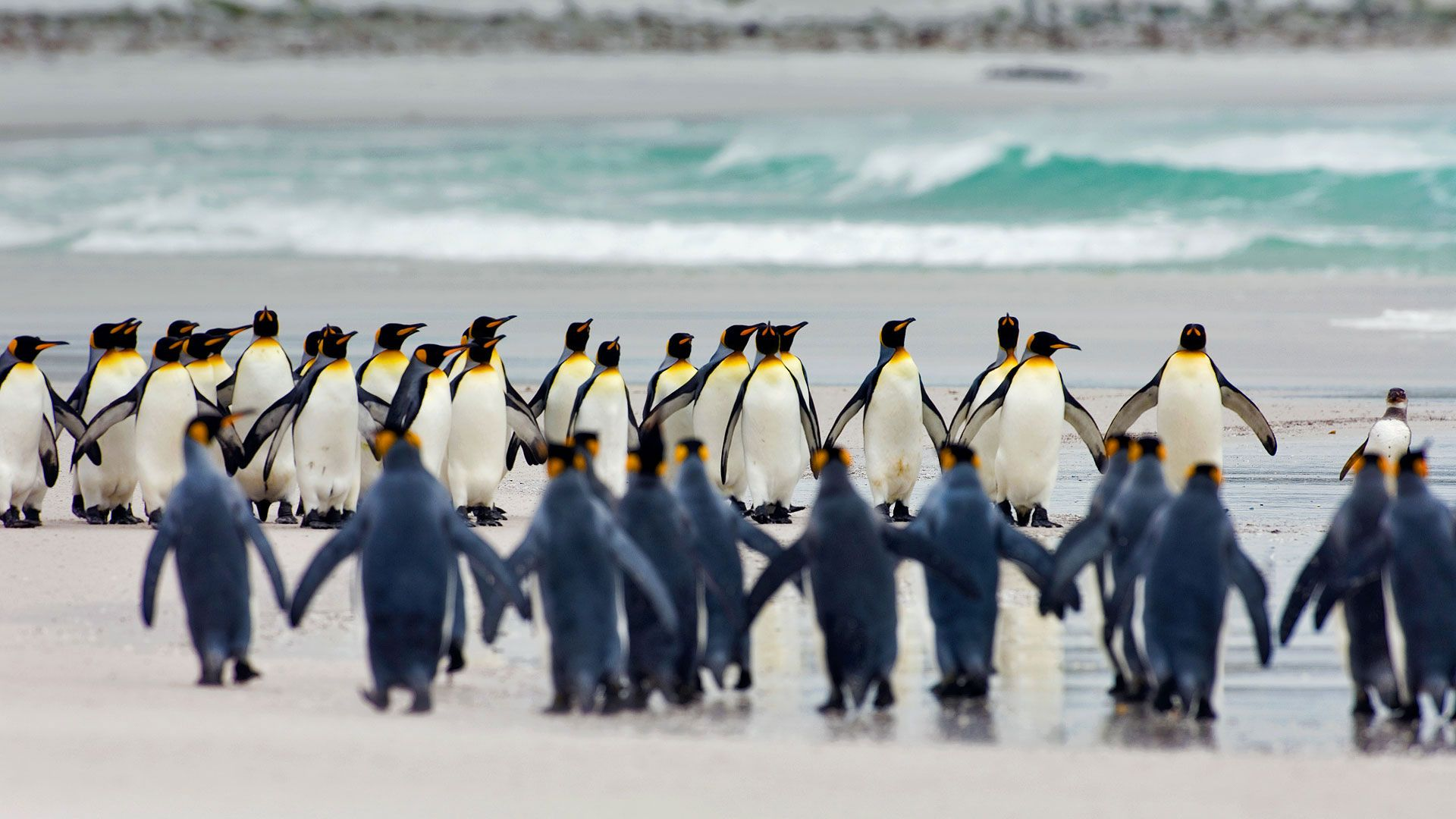 King Penguins are endangered by warming seas