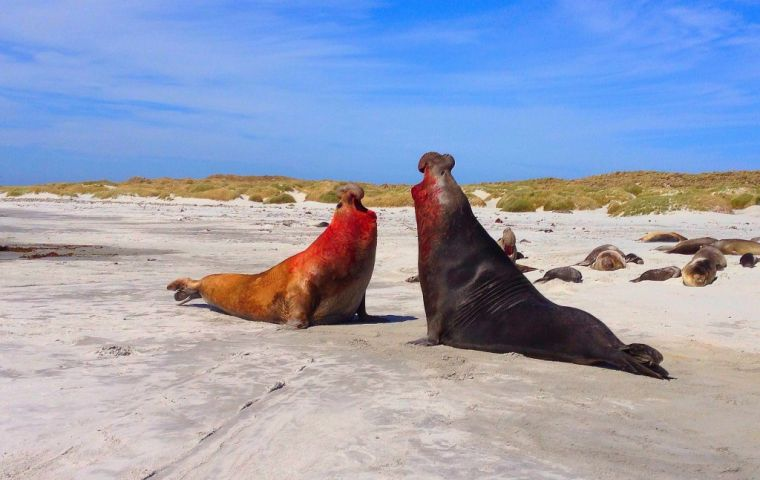 Last year the Loligo season around Beauchene island was cut short because of the high rate of accidental deaths with sea lions. Pic: .Lee Abbamonte